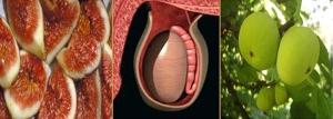 Figs-testicules-shape