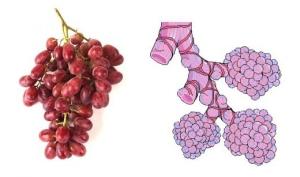 Grapes-leukocytes-shape