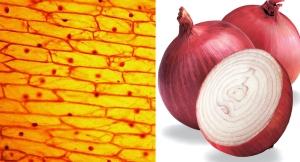 onionCells (1) copy