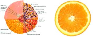Orange-breast-glands-shape