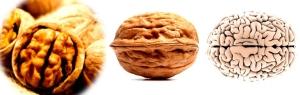Wallnut-brain-shape